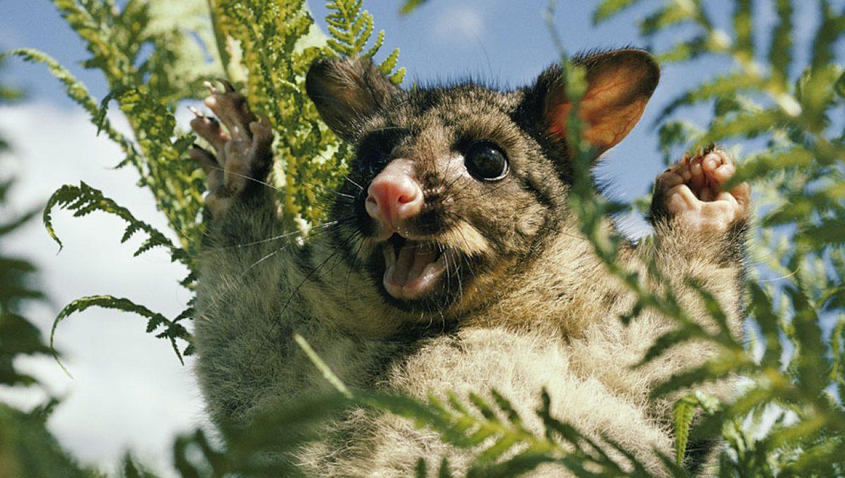 Possum Galore! – A Life Down Under